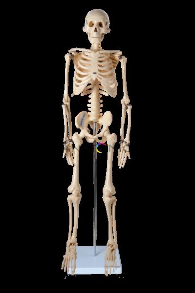 Modelo Anatômico Esqueleto